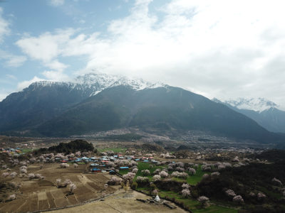 Peach trees in Tibet, where they grow in cold, high-altitude conditions.