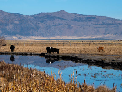 cows water well drilling DWR