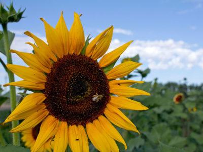 USDA-bee-sunflower-compressed.jpg