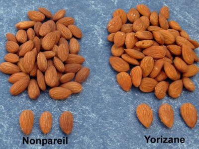 Almonds-Nonpareil-Yorizane-836x627-compressed.jpg