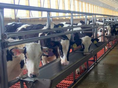 Veal Calves