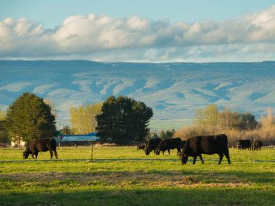 Black cattle grazing