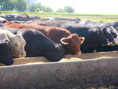 cow_cattle_eating_feedlot2