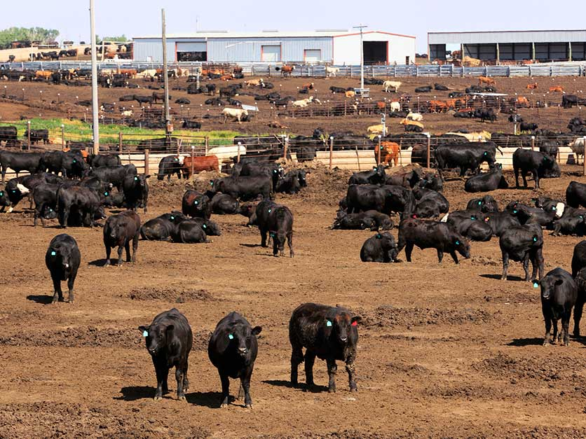 Cattle_feedlot_beef