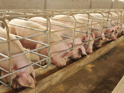 hogconfinements_sows_pigs