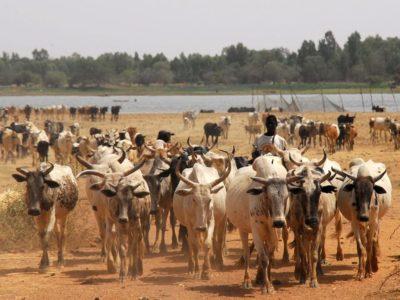 Livestock in Africa