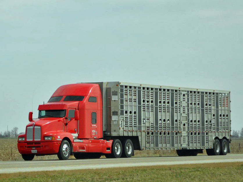 Livestock Haulers Push Back On DOTs Hours Of Service Rule