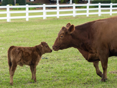 Red angus cattle
