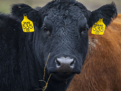 Cow closeup 2