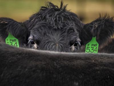 Cow peekaboo