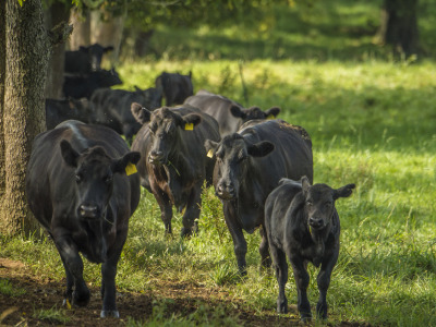 Black cattle walking