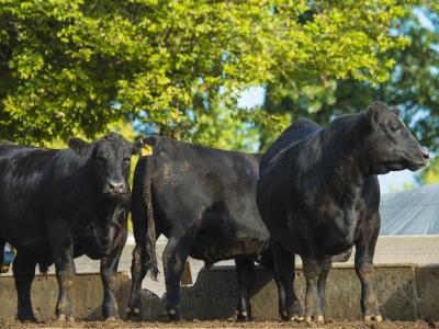 Cattle_feedyard