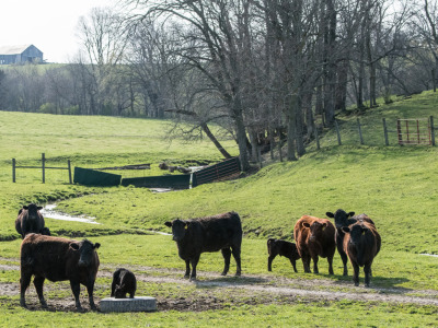 Cattle_on_grass
