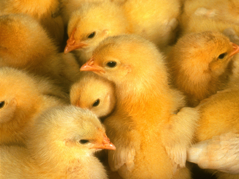 FFAR offers $6M for solutions to male chick-culling ...