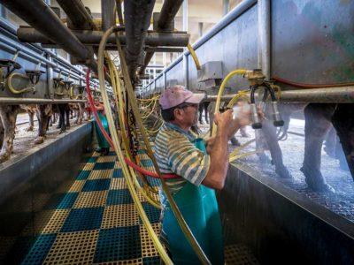 Dairy farmer milking