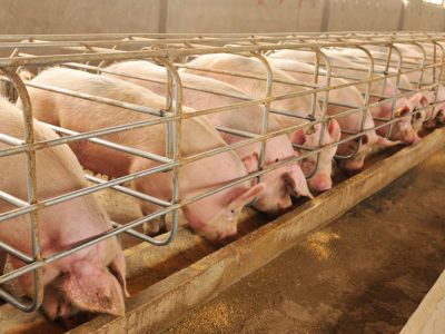 hogconfinement_pigs_sows