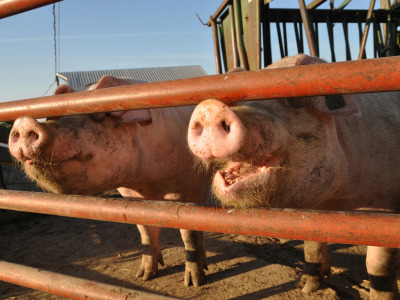 Pigs_gate