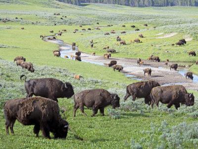 Bison_grazing