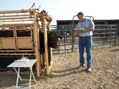 Cattle veterinarian