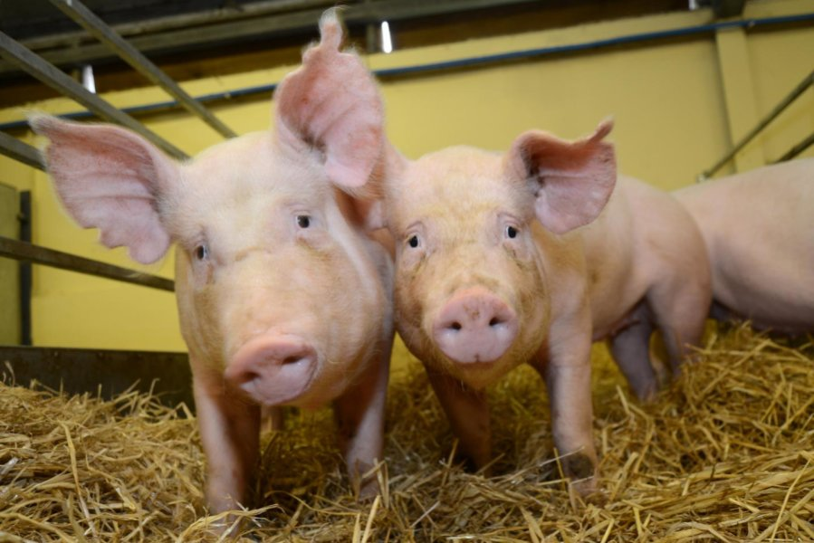 Gene-edited pigs, The Roslin Institute