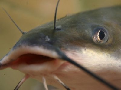 catfish with a big mouth
