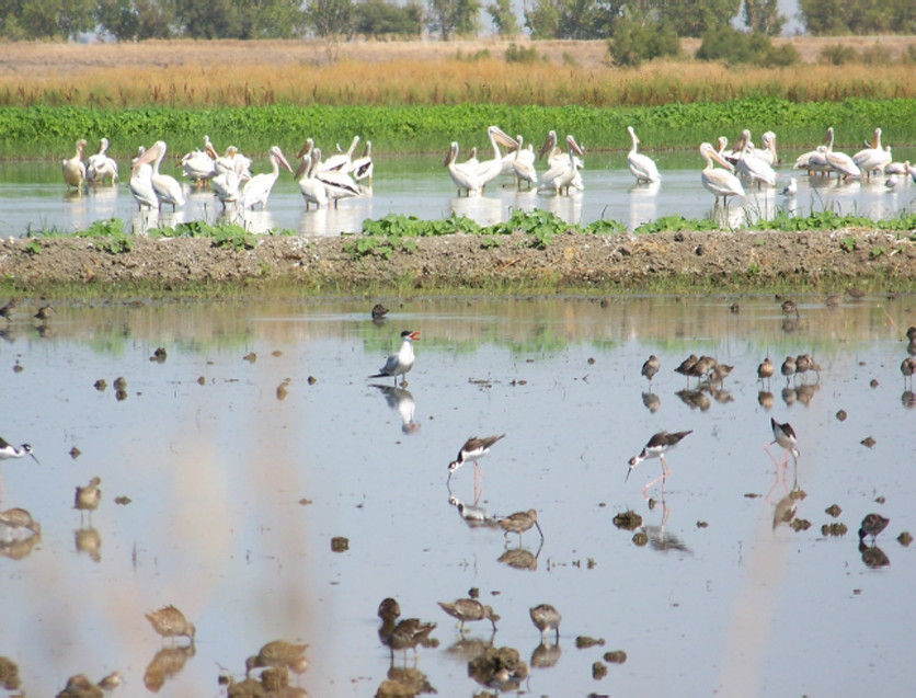 wetland rice birds