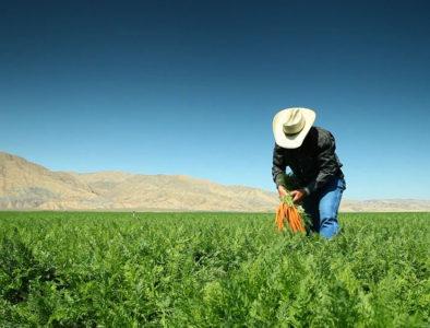 organic carrot farmer