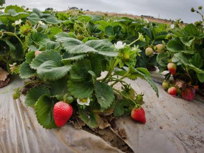 A tarped strawberry field near Castroville, CA