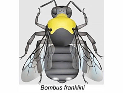 franklin bumblebee