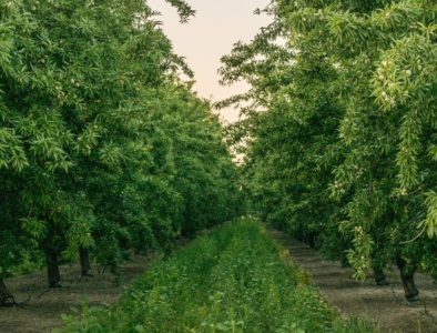 cover crops around almond trees