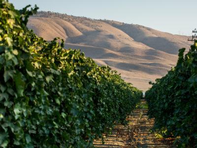 Kern County vineyard
