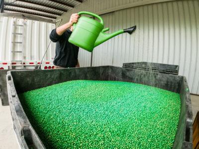 treated soybean seeds Texas