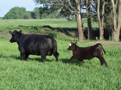 Cow Calf Black