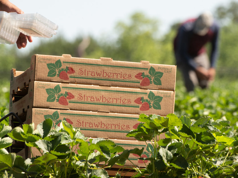 California Strawberries: A Crop Of Opportunity For Mexican