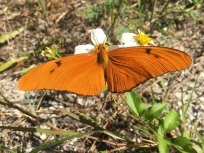 fpl butterfly