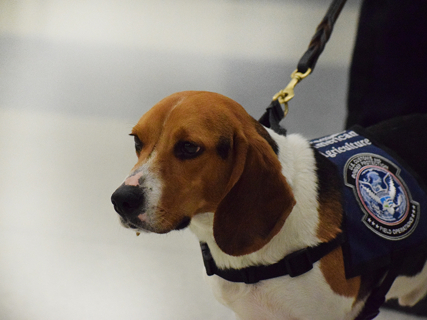 Beasely the CBP dog