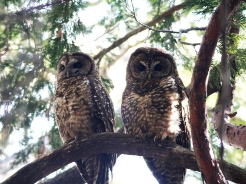 Spotted-Owls-2-1.jpg
