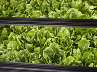 Bowery lettuce