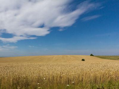 Ukranian_wheat_field.jpg