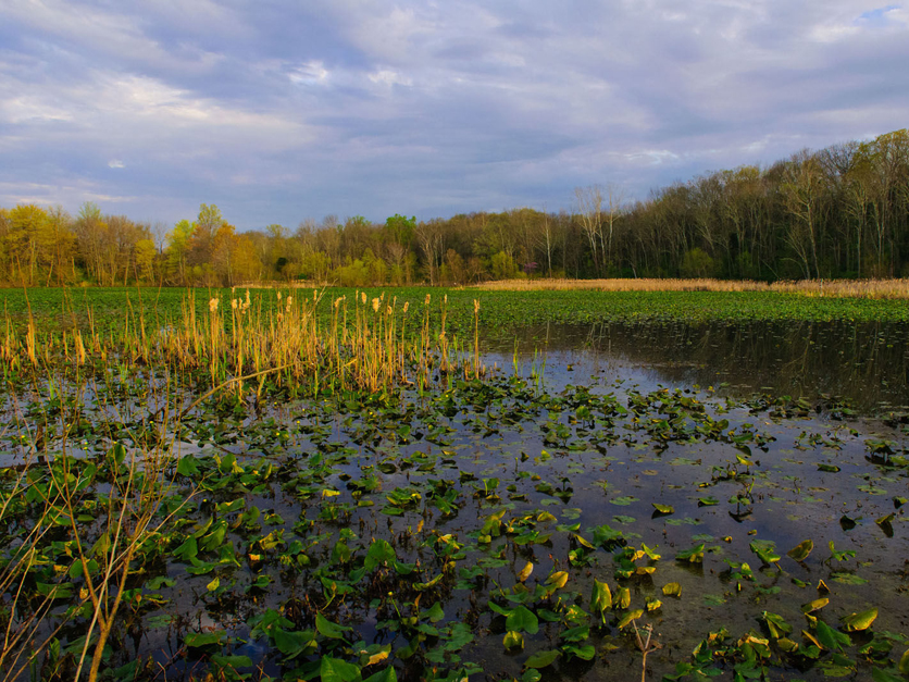 Chesapeake Bay wetland