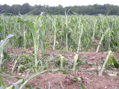 hail damaged corn