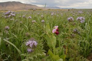 cover crops Oregon