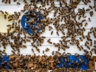 Honey bees in a hive