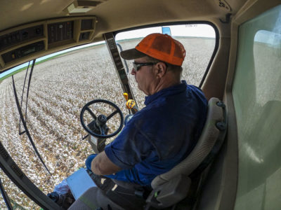 Farmer harvesting cotton