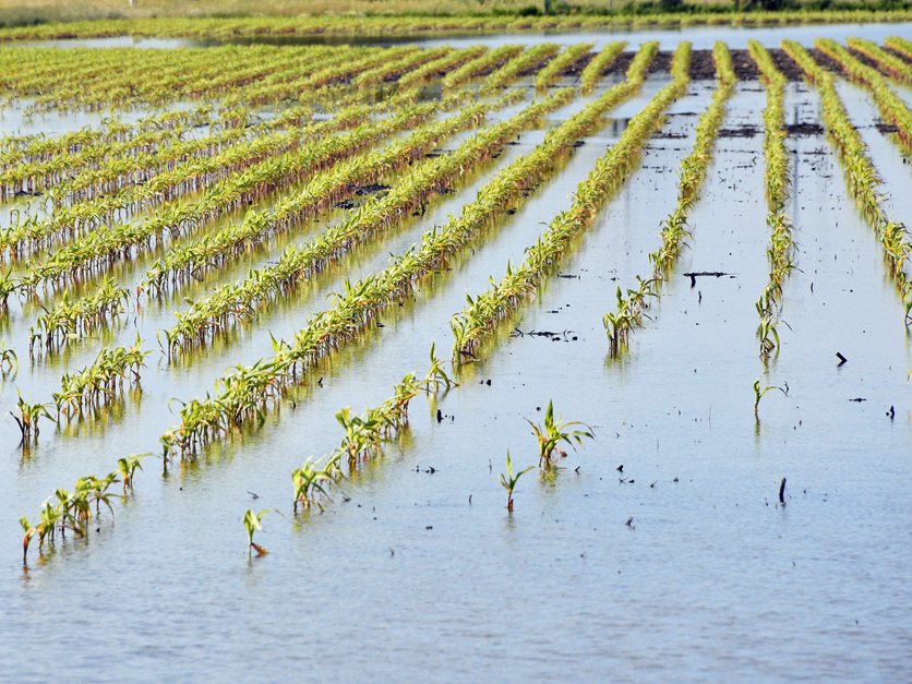 Flooded corn