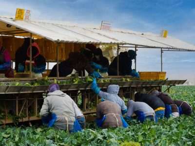 Fieldworkers harvesting broccoli