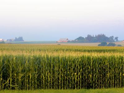 Corn_field2