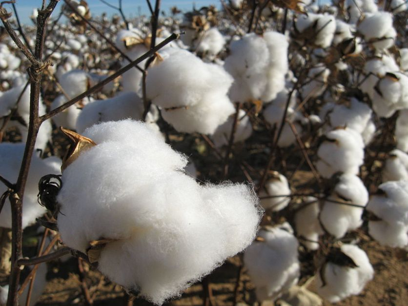 cotton closeup