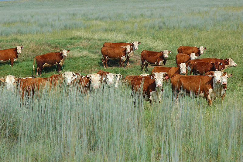 Rotational grazing USDA photo