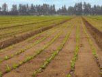 Plant tape in field